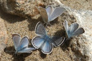Blue Periwinkle Butterflies Salmon River Idaho