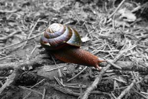 Cape Mountain Snail