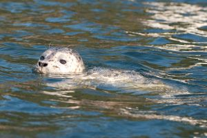 Curious Harbor Seal Off San Juan Island