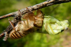 Emerging Cicada Salmon River Idaho