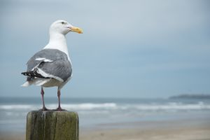 Pacific City Gull