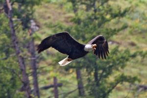 Salmon River Idaho Eagle In Rain