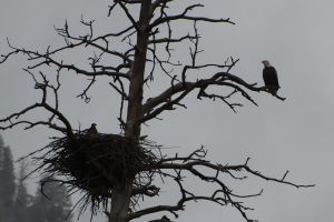 Watchful Mother Eagle Salmon River Idaho